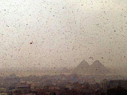 30 million locust Egypt